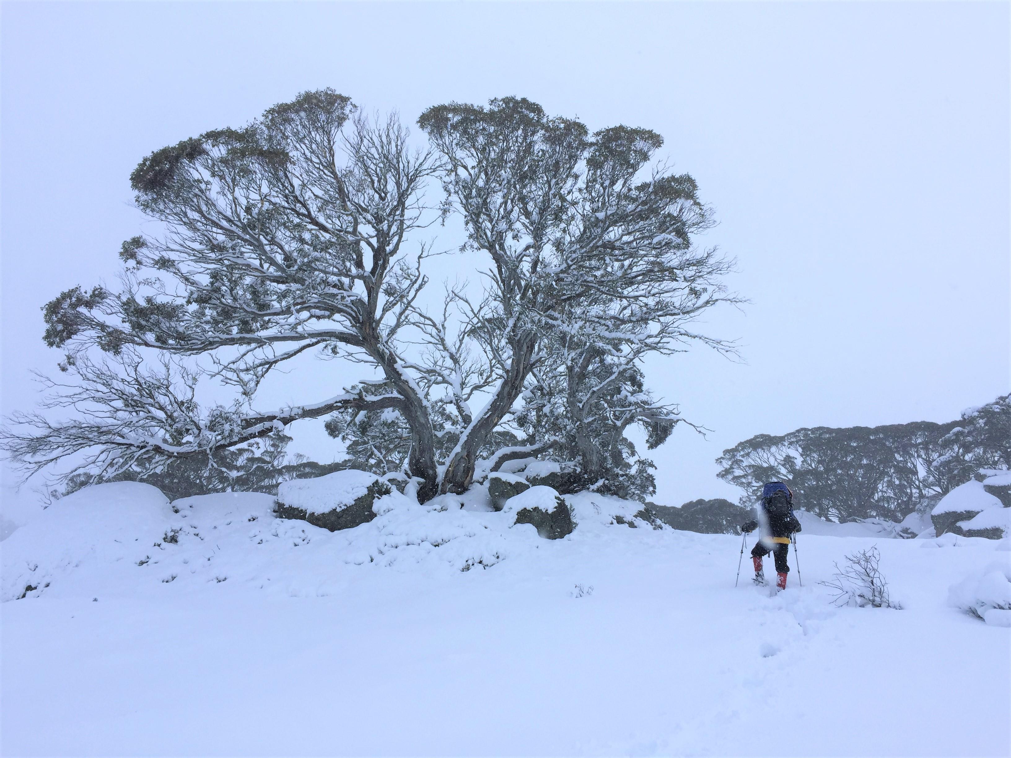 Snow Tree (2)
